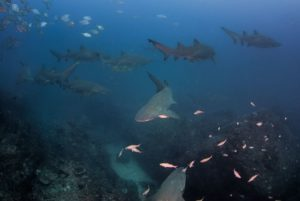 dive with grey nurse sharks at wolf rock, rainbow beach, qld