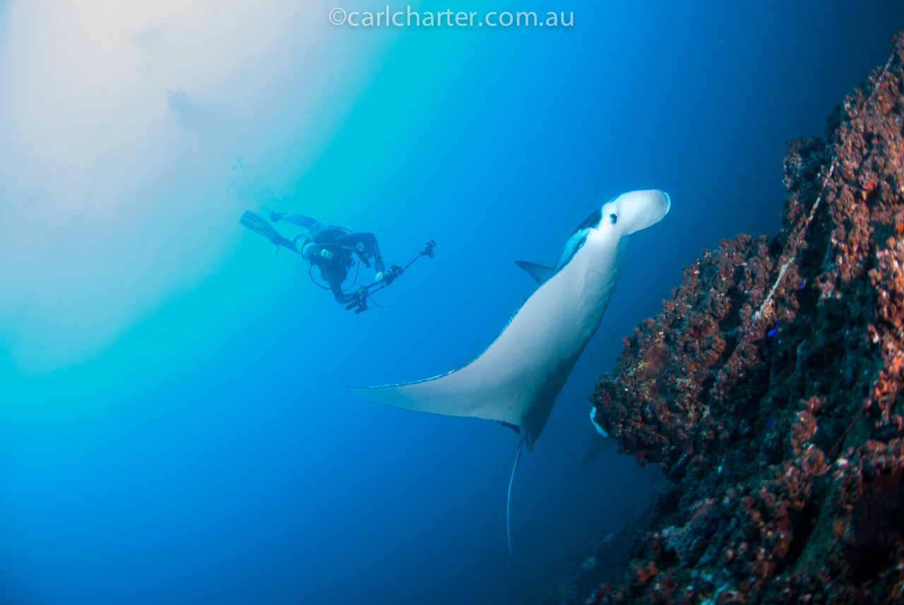diver photographing a manta ray at wolf rock, rainbow beach, qld