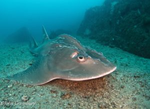 shovel nose ray at wolf rock, rainbow beach