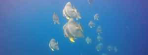 banner bat fish